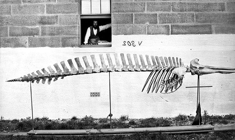 Bộ xương của Cá voi mõm khoằm, đặt bên ngoài bảo tàng.