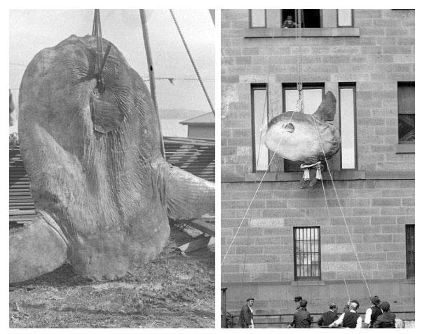 Một con cá mặt trời bắt được từ cảng Sydney năm 1882