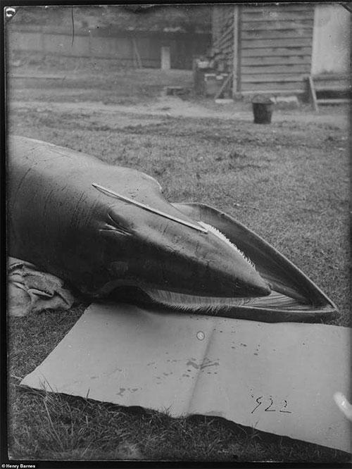 Phần đầu của một con cá voi tấm sừng.