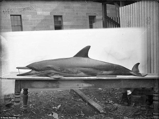 Mẫu vật nhồi xác một con cá heo.