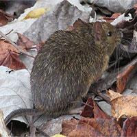 Chuột có khả năng chẩn đoán bệnh lao