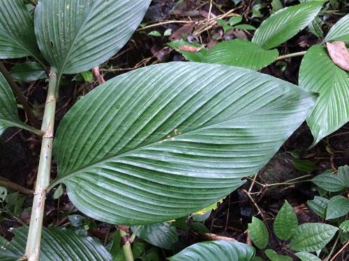 Loài gừng được phát hiện và tại Vườn QG Vũ Quang (hình thân lá).