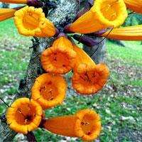 Kỳ lạ cây có hoa mọc từ thân, có thể nấu ăn ở Việt Nam
