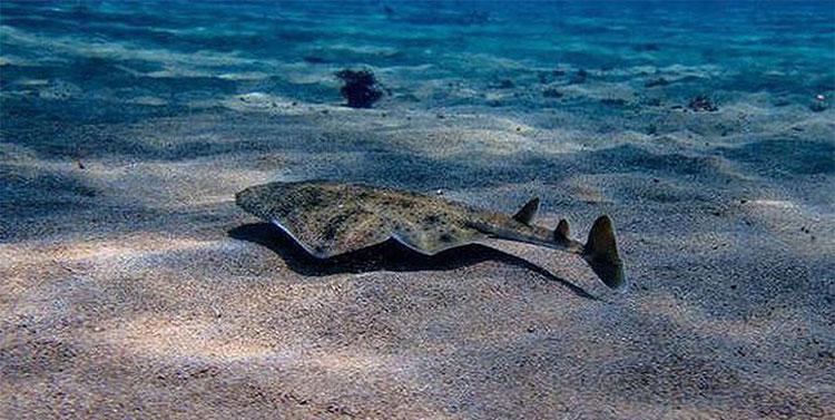 Đây là một trong những loài cá mập hiếm nhất trên thế giới.