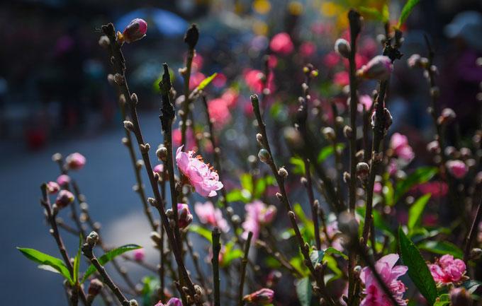 Hoa đào bán tại chợ đến từ nhiều nguồn khác nhau
