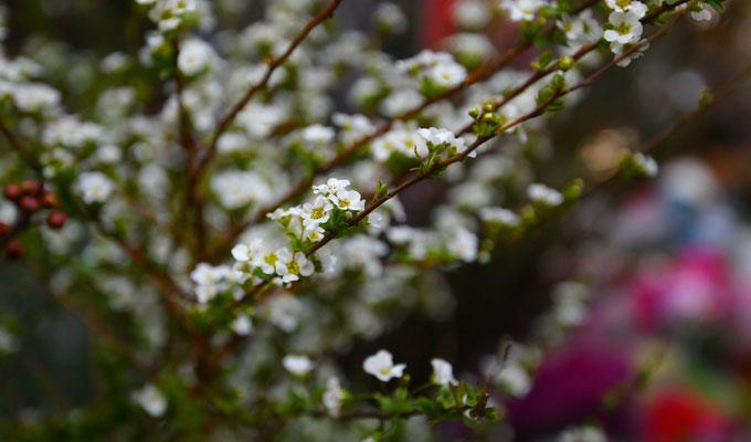 Chợ hoa Hàng Lược năm nay xuất hiện thêm loại tuyết mai với giá 240.000 đồng một bó.