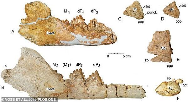 Các mảnh xương của con Dorudon atrox chưa trưởng thành trong dạ dày của Basilosaurus isis.