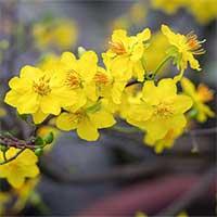 Cách chọn hoa mai đẹp, nhiều lộc đón Tết