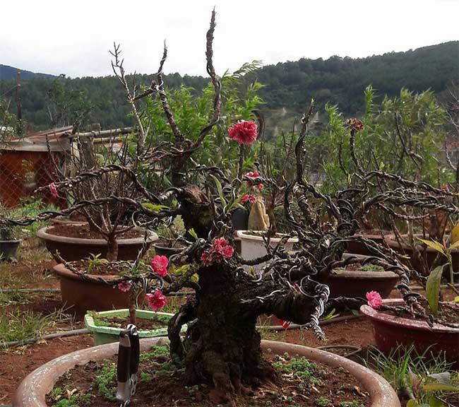 Đào Thất thốn Đà Lạt có thể nhân giống bằng cách ghép, chiết và gieo hạt