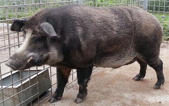 Một con lợn rừng lai.