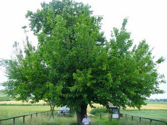 Cây đôi Grana, cả hai cây chủ và cây ký sinh đều rất khỏe mạnh