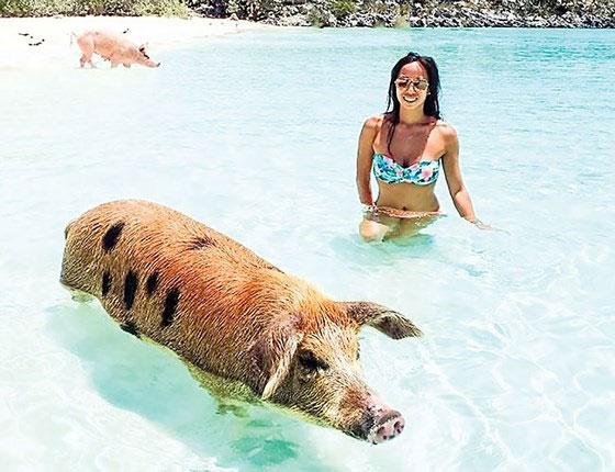 Heo biết bơi ở Bahamas