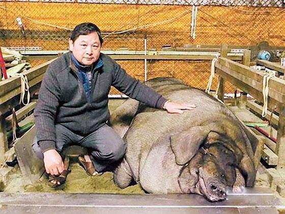 Vua heo nặng gần 1 tấn