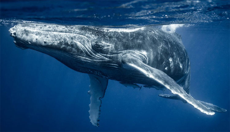 Cá voi lưng gù