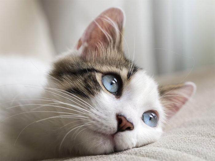 Tiếng rên của mèo