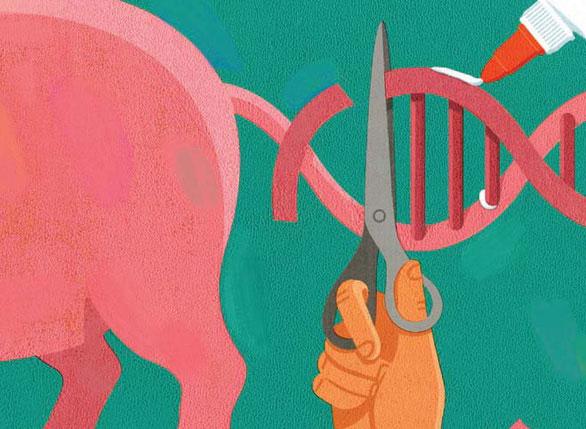 Tiềm năng của việc chỉnh sửa gene để tạo ra lợn có tạng hợp với con người