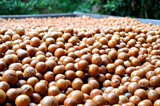Giá 1kg hạt macca có thể rơi vào khoảng trên dưới 1 triệu đồng