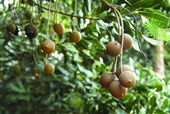 Hạt macca là loại hạt đắt nhất thế giới