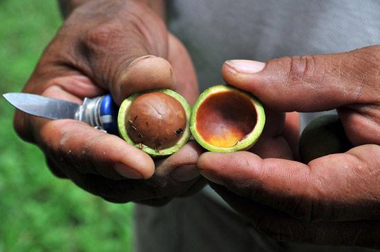 Khi thu hoạch, vỏ và thịt quả macca sẽ bị loại bỏ, chỉ để lại hạt bên trong