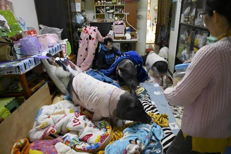Jenny Tsai ở Taichung ở trung tâm Đài Loan sống cùng 4 chú lợn từ nhỏ