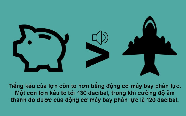 Tiếng kêu của lợn to hơn tiếng của động cơ máy bay phản lực