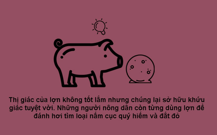Lợn có khứu giác tuyệt vời