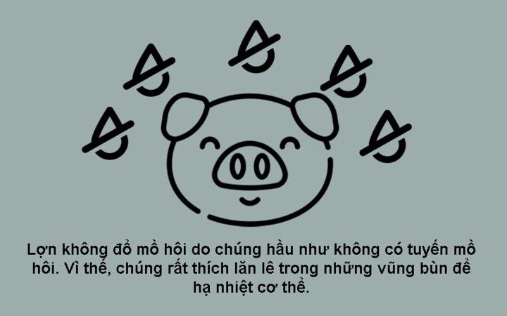 Lợn không có tuyến mồ hôi