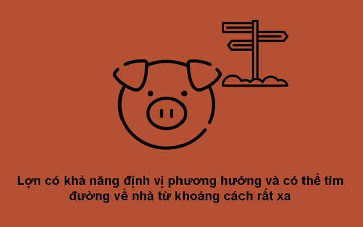 Lợn có khả năng định vị phương hướng tốt