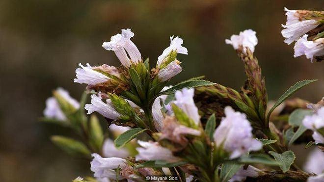 Cây Neelakurinji (thường được gọi tắt là 'Kurinji') thuộc chi Thuỳ hoa