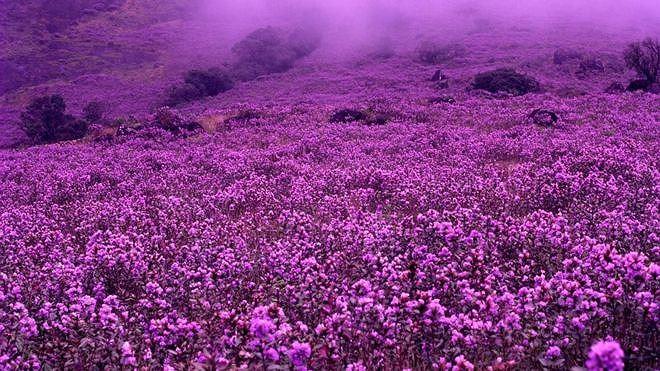 Một mùa hoa tưng bừng sẽ khiến các triền núi dày đặc hoa, nở thành từng hàng trên các bụi cây cao từ 30 đến 60cm