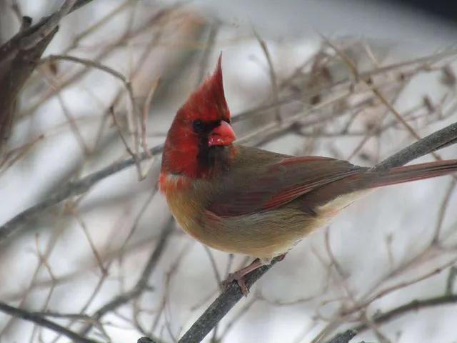 Con chim hồng y kì lạ được chụp lại với ngoại hình nửa đực, nửa cái