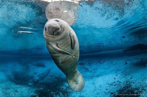 Bò biển Dugong