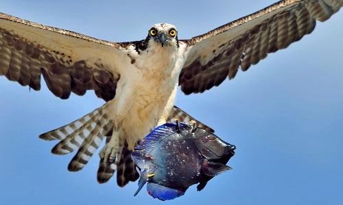 Chim ó cá nhìn thẳng vào ống kính máy ảnh như thể đang khoe mồi