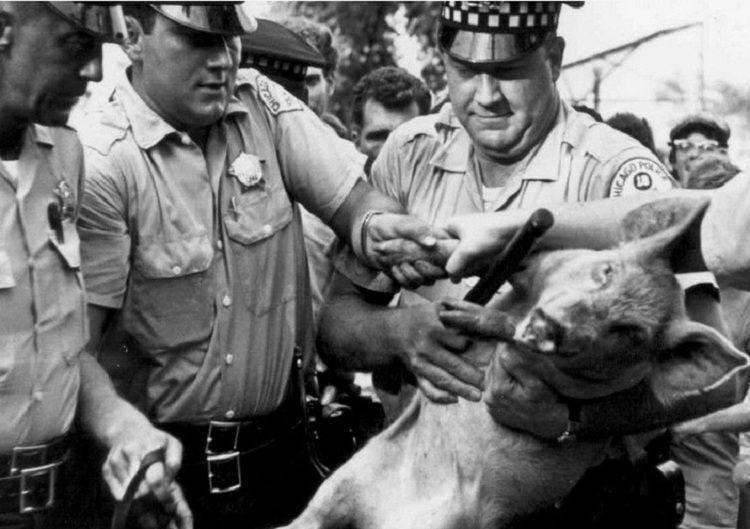 """""""Ứng cử viên"""" bốn chân Pigasus bị cảnh sát bắt"""