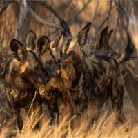 Lần đầu ghi hình chó hoang châu Phi ăn thịt khỉ đầu chó