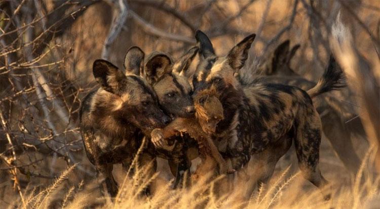 Bầy chó hoang châu Phi tranh nhau xé xác khỉ đầu chó.