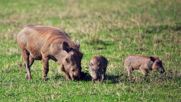 Lợn bướu là một loài chăm chỉ.