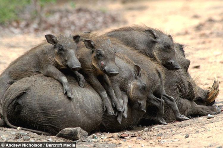 Lợn cái thì cực kỳ yêu thương và hết lòng chăm bẵm con non.