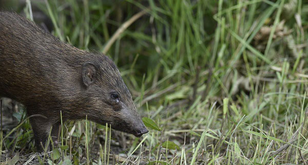 Porcula salvania - loài lợn nhỏ nhất thế giới.