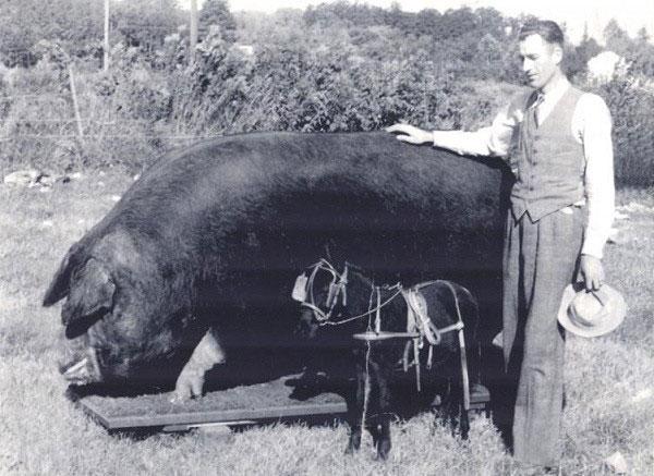 Chú lợn lớn nhất từng tồn tại