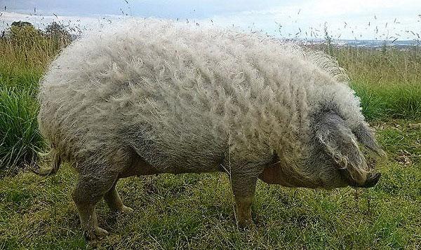 Giống lợn nhà có lông dày nhất
