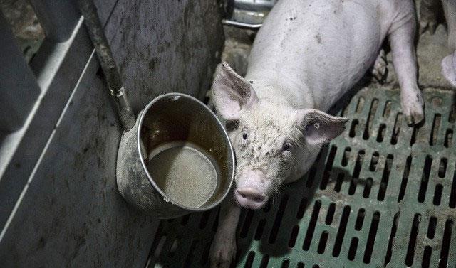 Dù Colistin độc hại nhưng người nuôi lợn Trung Quốc chả quan tâm.
