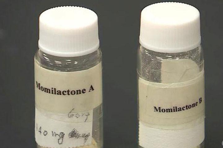 Hai hợp chất Momilactone A và B