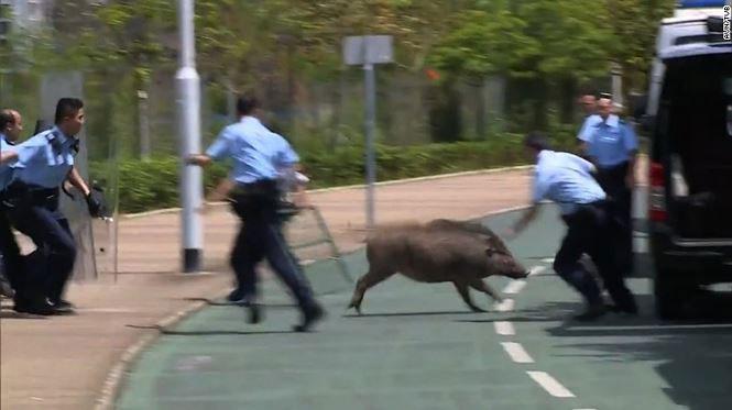Cảnh sát đang cố bắt một con lợn rừng lang thang ở quận tài chính của Hong Kong.