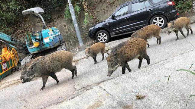 Một đàn lợn rừng lang thang trên phố ở Hong Kong.