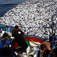 Cận cảnh mẻ cá 120 tấn trên biển