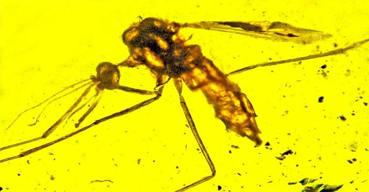 Khối hổ phách 100 triệu năm lưu giữ xác muỗi cổ đại.