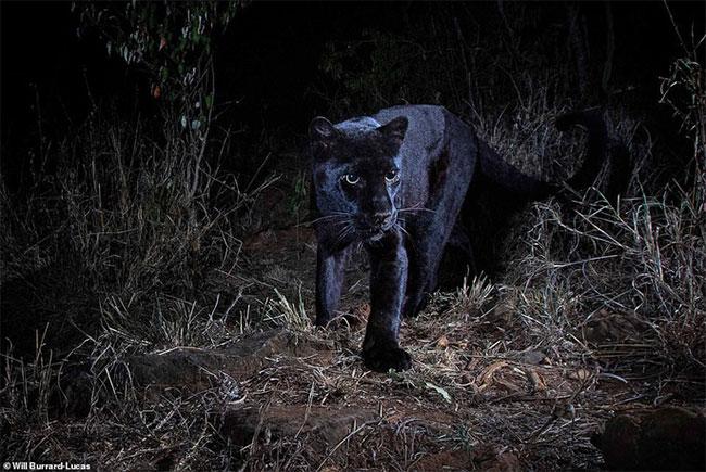 Báo đen quý hiếm châu Phi lần đầu được chụp ảnh sau 100 năm.