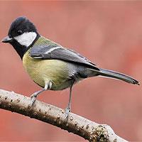 Loài chim dễ thương này đã trở thành một tên sát thủ điên loạn chỉ vì biến đổi khí hậu