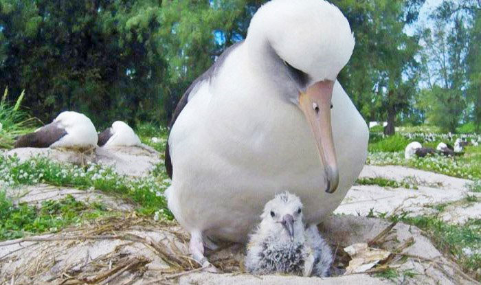 Akeakamai đang đứng cạnh chú chim non mới nở.